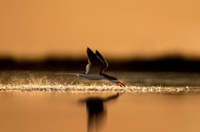 A Black Skimmer Flying With A ...