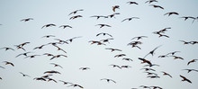 A Large Flock Of Glossy Ibis F...