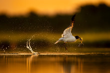 Laughing Gull Takes Off From T...