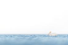 American White Pelican Floatin...