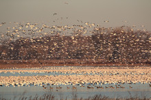Nature At It Best With Migrating Snow Geese