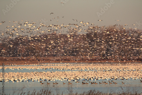 Nature at it best with migrating Snow Geese Fototapeta