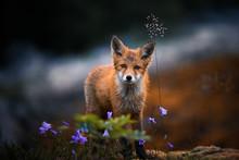 Red Fox Puppy & Flowers
