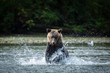 canvas print picture - wild grizzly bear chases salmon