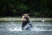 Wild Grizzly Bear Chases Salmon