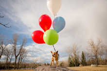 Chihuahua With Birthday Balloons