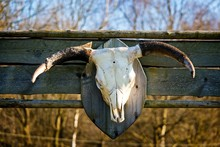 Cattle Skull With Horns Mounte...