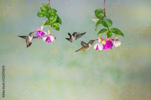 Obraz na plátne Three volcano hummingbirds and fuchsia flowers