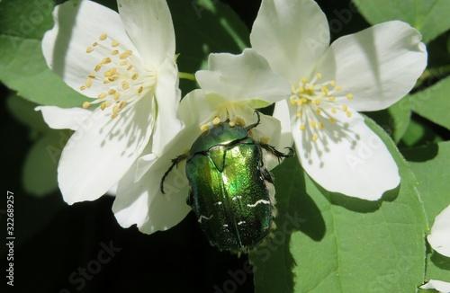 Canvas-taulu Green beetle on jasmine flowers