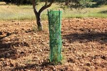 Small Olive Tree Growing, Oliv...