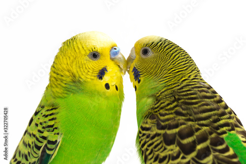 Obraz na plátně A pair of common parakeets is kissing isolated on white background