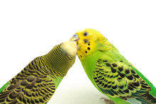 A Pair Of Common Parakeets Is ...
