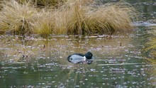 Ring-necked Duck Grazing In Th...