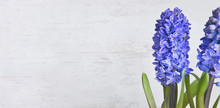 Close On Beautiful Blue Hyacin...