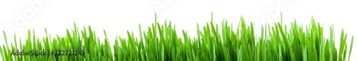 Obraz Green spring grass sprouts isolated on white background, wide panorama format for banner - fototapety do salonu