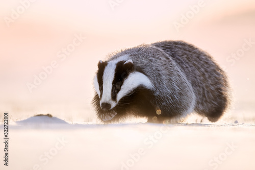 Photo Attractive winter scene with badger