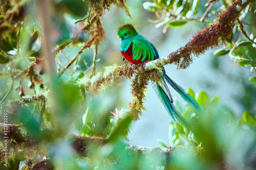 Fototapeta The most beautiful bird of Central America. Resplendent quetzal (Pharomachrus mocinno) Sitting ma branches covered with moss. Beautiful green quetzal with red belly.