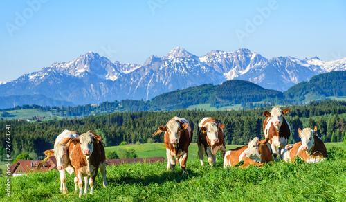 Obraz Kuhherde genießt die Morgensonne auf einer Weide im Alpenvorland im Frühling - fototapety do salonu