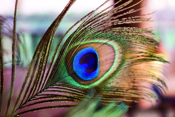 beautiful close up peacock feather