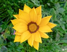 Vibrant Yellow Gazania Flower Top View Close Up
