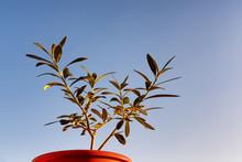 Small Olive Tree (Olea Europae...