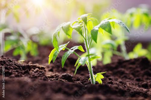 Cuadros en Lienzo tomato seedlings growing in the soil at greenhouse
