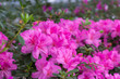 canvas print picture - Azaleas tropical flower.