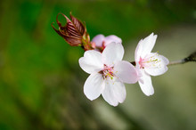 Cherry And Apple Tree Blossom Close Up. Selective Focus And Copy Space. Spring Sakura Blossoms. Pink Cherry Blossom Twig Close Up Over Blue Bokeh Background. Spring Trees Blossom.