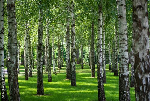 Fototapeta Nature view of birch forest obraz na płótnie