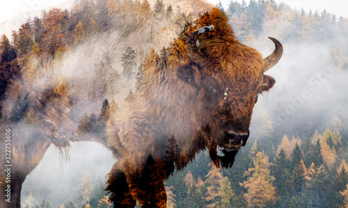 Fotografia double exposure of bison and foggy forest
