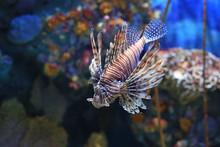 Lionfish (Pterois Volitans) Sw...