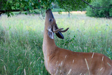 White-tailed Deer Buck In The Early Morning Light With Velvet Antlers Eating Leaves In Summer In Canada