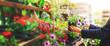Leinwanddruck Bild - woman pick petunia flower pot from shelf at garden plant nursery store. copy space