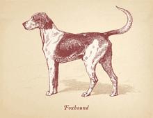 Foxhound - Dog Vector Engraving Masterfully Restored