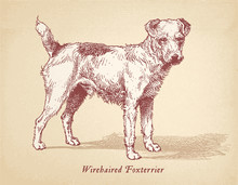 Wirehaired Foxterrier - Wire F...