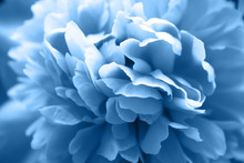 Beautiful Classic Blue Peony Flower With Lush Petals Closeup. Tender Spring Plant, Painted In A Trend Color