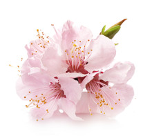 Beautiful Pink Cherry Blossom Isolated On White Background