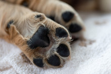 Close Up Puppy Dog Paws On A White Cozy Blanket. Macro Of Brown Dog Paws.