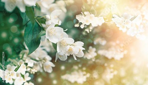 Jasmine flower flowering (blooming), beautiful flowers lit by sunlight Wallpaper Mural