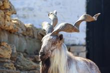 Siberian Mountain Goat