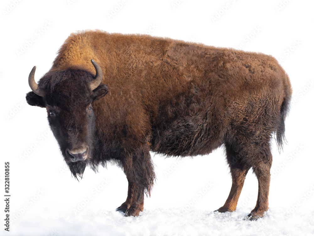 Fototapeta bison stands in the snow isolated on a white background.