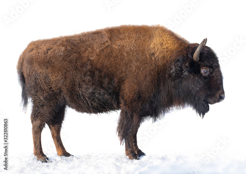 Fotografia bison stands in the snow isolated on a white background.