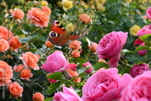 Obraz Schmetterling 646 - fototapety do salonu