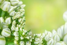 White Garlic Flower In Garden ...