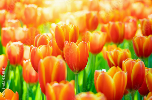Fototapeta Fresh colorful tulips flower bloom in the garden obraz
