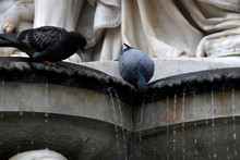 Pigeons Drinking Water From A ...