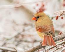Female Cardinal Perched In Tree With Red Berries In Winter