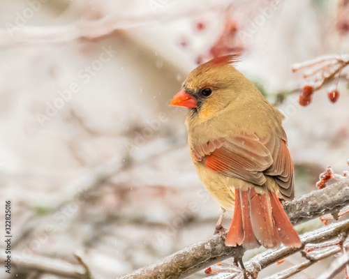 Slika na platnu Female cardinal perched in tree with red berries in winter