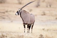 Oryx, Gemsbok Antelope In The ...