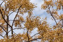 Yellow Fruit Of A Plant Melia Azedarach On A Tree. Plants Of Montenegro.